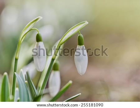 Snowdrops flower - stock photo