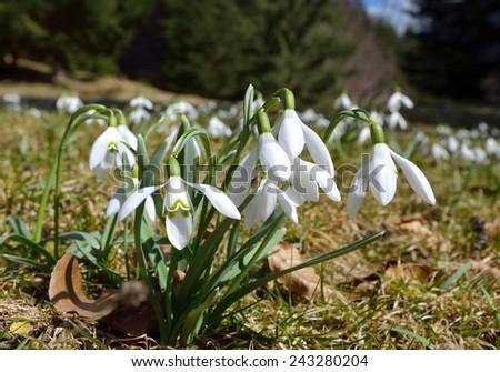 Snowdrops (Galanthus nivalis) - stock photo