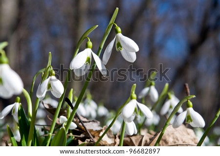 Snowdrops (Galanthus nivalis) in the underwood - stock photo