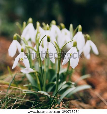 Snowdrops in a garden / Snowdrops - stock photo