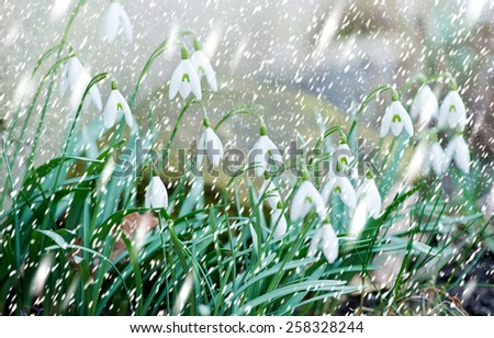 snowdrops in the snowfall, shallow depth of field - stock photo