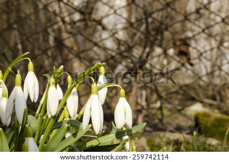 Snowdrops spring flowers. Galanthus nivalis. Concept of new life - stock photo