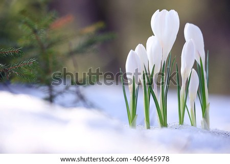 snowdrops The first spring wild flowers - stock photo