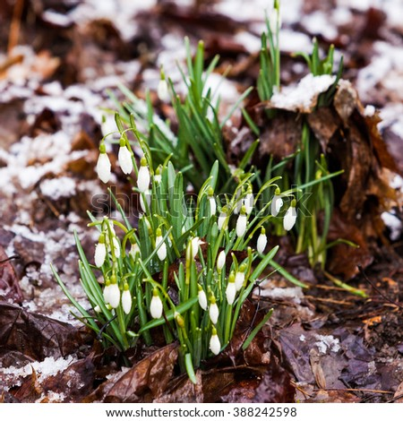 snowdrops  under the snow. flowers blooming in winter - stock photo