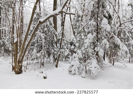 Snowfall in the forest.