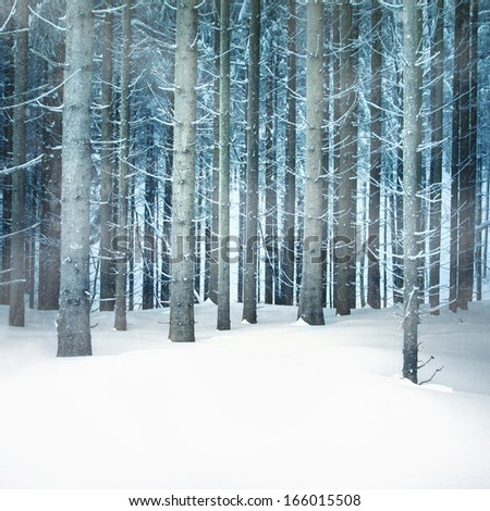 Snowfall in the young spruce forest. - stock photo