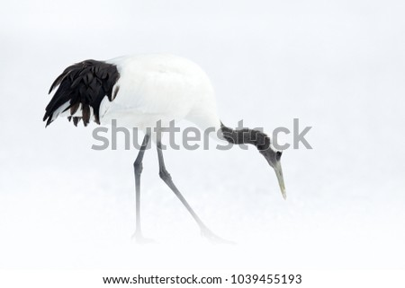 Snowfall Red-crowned crane in snow meadow, with snow storm, Hokkaido, Japan. Bird feeding, winter scene with snowflakes. Snow dance in nature. Wildlife scene from snowy nature. Cold winter. Snowy.