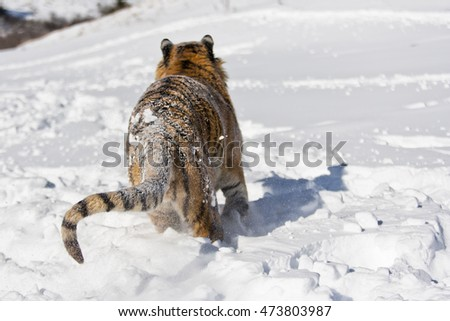 Snowflakes are scattering around him. Amur tiger is getting ready for hunting. Amur tiger is getting ready for hunting. His entire body can seen with back view.