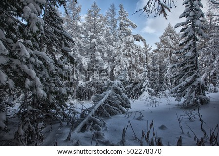 Snowing forest in Altai's mountains