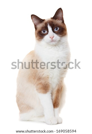 Snowshoe cat - stock photo