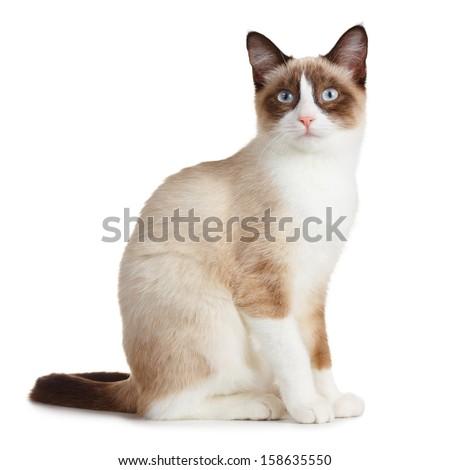 Snowshoe cat, isolated on white background - stock photo