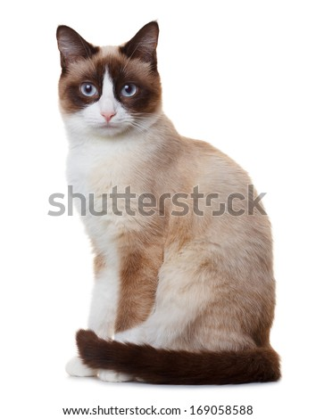 Snowshoe cat, isolated on white background - stock photo