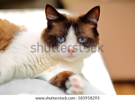 snowshoe cat portrait at home