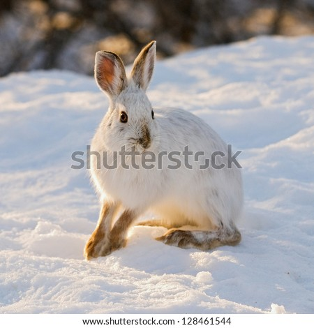 snowshoe or varying hare, in eastern Ontario winter - stock photo