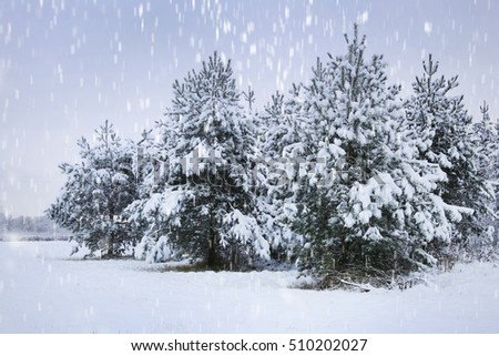 Snowstorm in fir tree forest