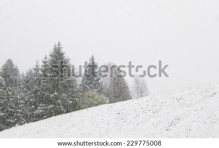 snowstorm over hill and spruce trees in winter