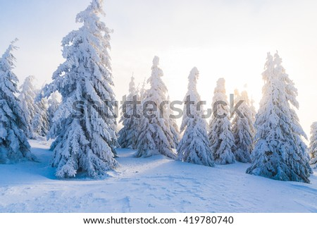 Snowy alpine pine forest in beautiful lights