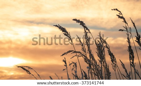 Snowy blades of grass at sunset in winter