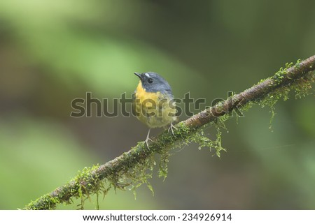 Snowy-browed Flycatcher from northern Thailand