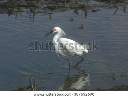 Snowy Egret (breeding)