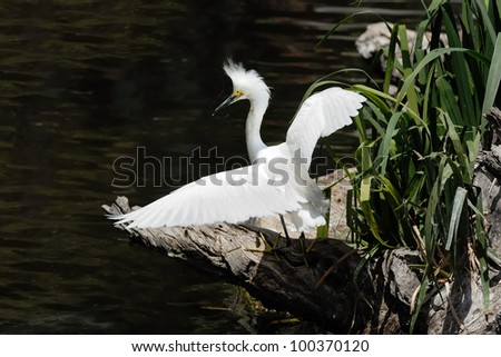 Snowy Egret drying wings in pond - stock photo