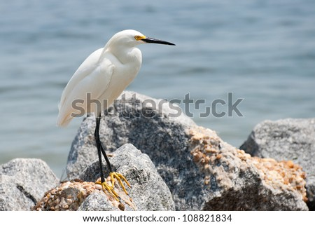 Snowy Egret (Egretta thula) - stock photo