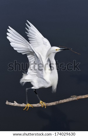 Snowy Egret, Egretta thula, an adult breeding plumage bird taking off with nesting material - stock photo