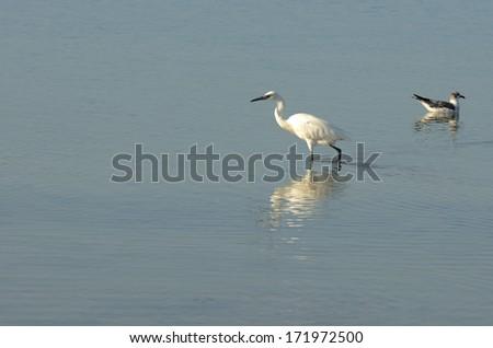 Snowy Egret, Egretta thula, feeding in the Gulf of Mexico near Corpus Christi Texas - stock photo