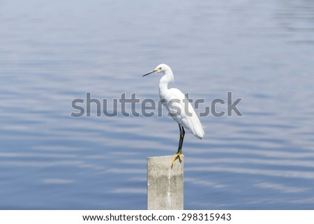 Snowy Egret, Egretta thula, forages in a tidal pool in Huntington Beach, Southern California