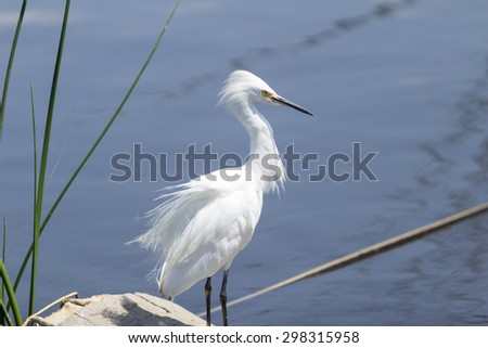 Snowy Egret, Egretta thula, forages in a tidal pool in Huntington Beach, Southern California - stock photo