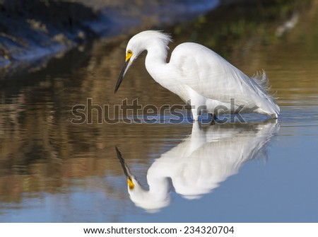 Snowy egret (Egretta thula) foraging in a quiet lake at early windless morning, Galveston, Texas, USA. - stock photo