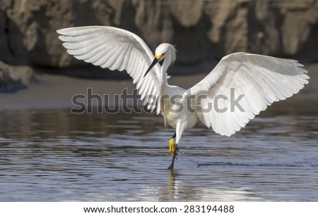 Snowy egret (Egretta thula) hunting in tidal marsh, Galveston, Texas, USA.