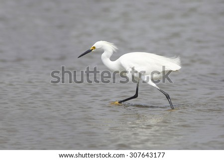 Snowy Egret (Egretta thula) in breeding plumage foraging in a shallow bay - Bolivar Peninsula, Texas