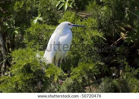 Snowy Egret (Egretta thula) in the natural habitat, St. Augustin, FL. - stock photo
