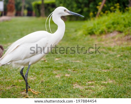 Snowy Egret (Egretta thula) Standing on grass looking for something to eat - stock photo