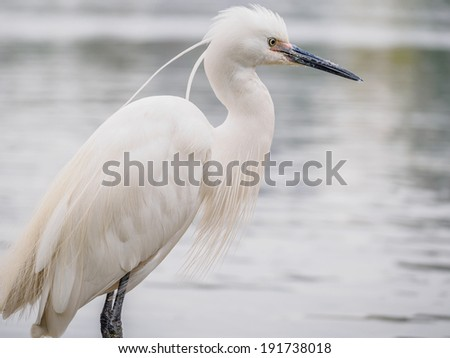 Snowy Egret (Egretta thula) Standing on rocks in the water, Shanghai, China - stock photo
