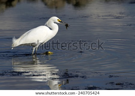 Snowy Egret in shallow water fishing during low tide, caught a fish - stock photo