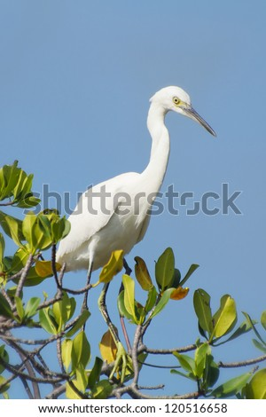 Snowy Egret perched on a mangrove tree - stock photo