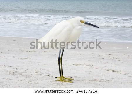 Snowy Egret Posing on Beach - stock photo