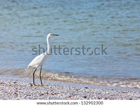 Snowy egret searches for food along a beach on Sanibel Island, Florida. - stock photo