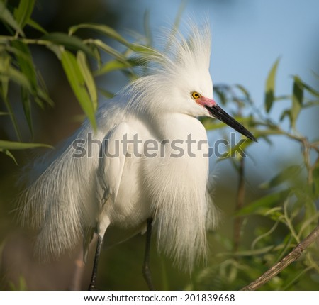 Snowy Egret showing breeding plumage - stock photo