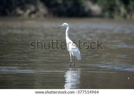 Snowy egret standing in water, fishing; profile facing left