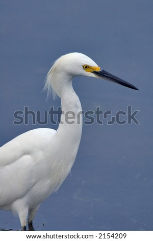 snowy egret wades in florida pond