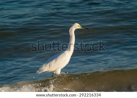 Snowy Egret wading through water looking for food on a cool, fall morning - stock photo