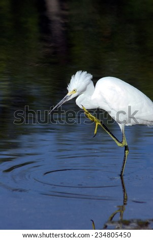 Snowy Egret with one leg raised, JN Ding Darling Wildlife Refuge, Sanibel Island, Florida, USA - stock photo