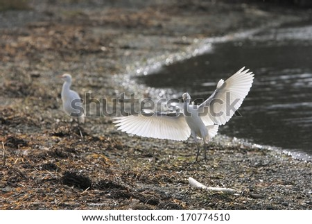 Snowy Egrets at Cline spit. - stock photo