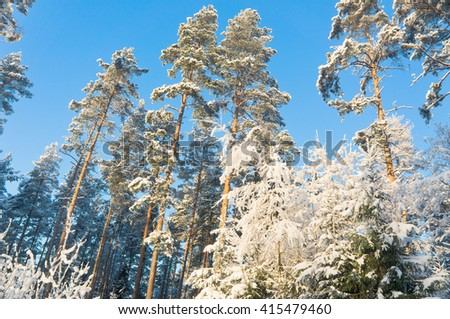 Snowy Fir Trees Wintry Landscape  - stock photo
