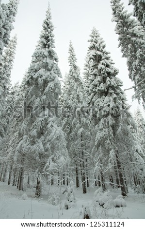 Snowy forest. Winter in northern Russia.