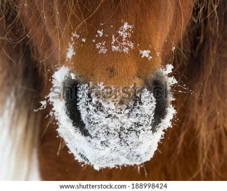 Snowy Horse Muzzle  - stock photo