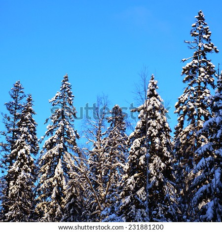 Snowy landscape with fir trees. Beautiful winter forest. Fir on background of blue sky. - stock photo
